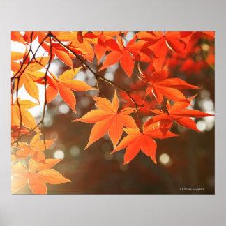 Hojas de arce rojas del otoño poster