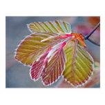 hojas de la haya de cobre postal