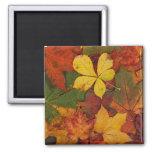 Hojas de otoño coloridas iman