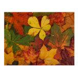 Hojas de otoño coloridas postal