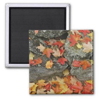Hojas de otoño en la pared de piedra, hombre minuc iman para frigorífico