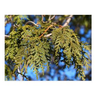 Hojas del árbol de cedro postal