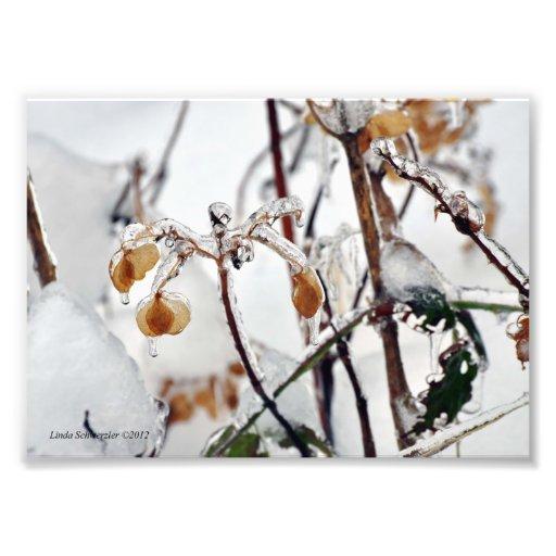 hojas del Hydrangea 5X7 en la nieve y el hielo Impresiones Fotograficas