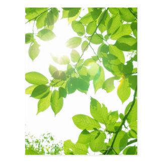 Hojas en luz del sol, primer del verde tarjetas postales