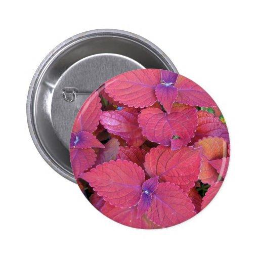Hojas púrpuras rojas del coleo pin redondo 5 cm