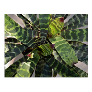Hojas rayadas planta de Vriesea Splendens Postal