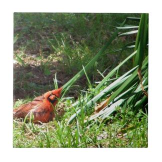 Hola cardenal azulejo cuadrado pequeño