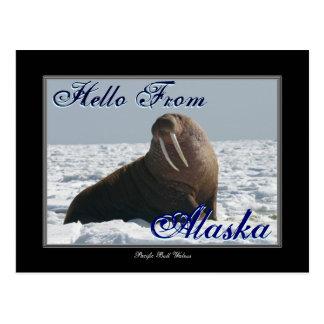 Hola de la postal de la morsa de Alaska Bull