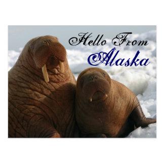 Hola de la postal de la morsa de Alaska