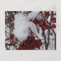 Holiday Postcard Red Berries and Snow