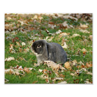 Holland Lop Bunny 10 x 8 Photographic Print