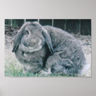 Holland Lop Rabbit Poster