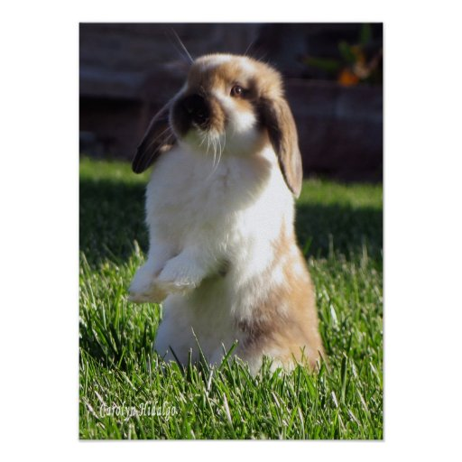 Holland Lop Standing Up Poster