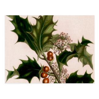 holly berries,christmas postcard