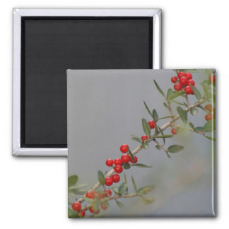 Holly berry stem against grey background 2 inch square magnet