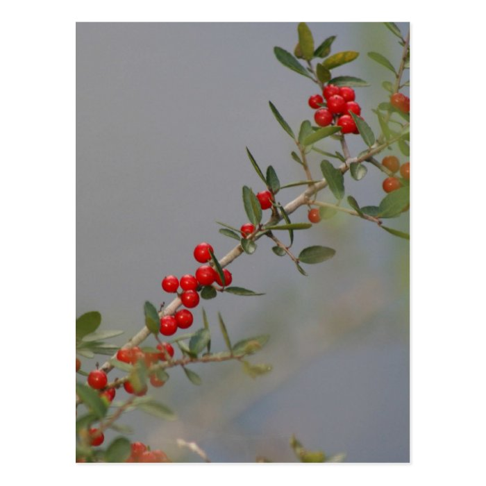 Holly berry stem against grey background postcard