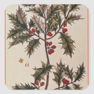 Holly from 'A Curious Herbal', 1782 Square Sticker