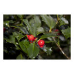 holly leaves and berries, rain drops poster