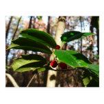 Holly Leaves I Holiday Christmas Nature Botanical Postcard