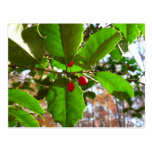 Holly Leaves II Holiday Nature Botanical Postcard