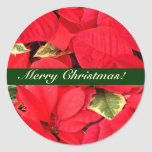 Holly Point Poinsettias Christmas Floral Classic Round Sticker