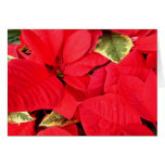 Holly Point Poinsettias Christmas Holiday Floral Card