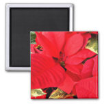 Holly Point Poinsettias Christmas Holiday Floral Magnet