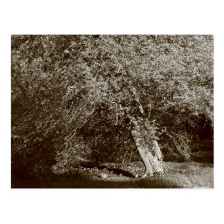 Holly Tree - Sepia Postcard