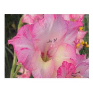 Hollyhock Pink White Postcard