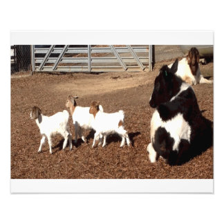 Holstein calf and triplet baby goats photographic print