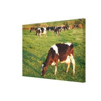 Holstein cattle canvas print