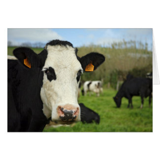 Holstein cattle greeting card