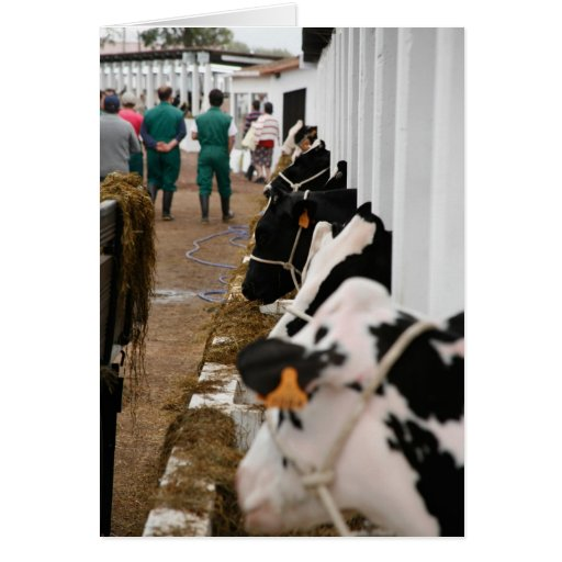 Holstein cattle show stationery note card
