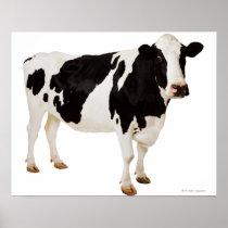 Holstein cow (Bos taurus) Poster