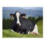 Holstein cow post card