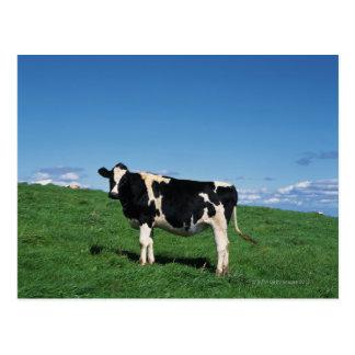Holstein cow standing in field, Bekkai-Machi, Post Card