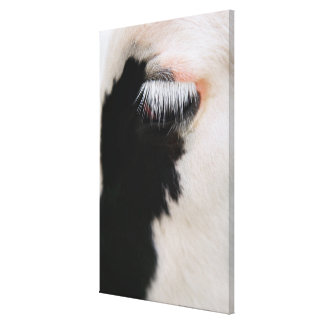 Holstein cow's face, close-up of eye canvas print