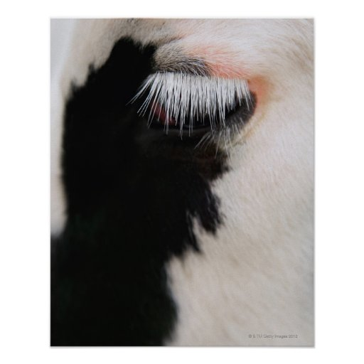 Holstein cow's face, close-up of eye posters
