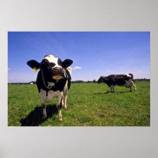 Holstein Dairy Cattle Poster