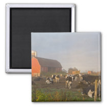 Holstein dairy cows outside a barn at sunrise magnet