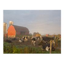 Holstein dairy cows outside a barn at sunrise postcard