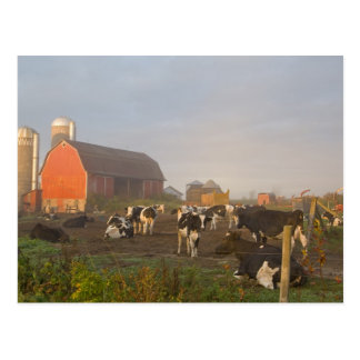 Holstein dairy cows outside a barn at sunrise postcard