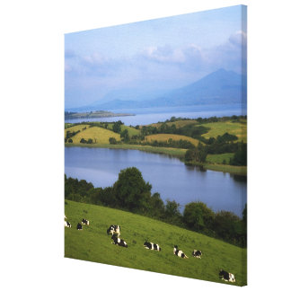 Holstein-Fresian Cattle, Bantry Bay, Co Cork, Canvas Print
