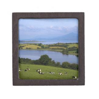 Holstein-Fresian Cattle, Bantry Bay, Co Cork, Jewelry Box