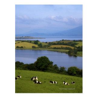 Holstein-Fresian Cattle, Bantry Bay, Co Cork, Post Card