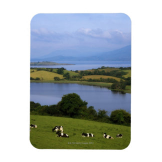 Holstein-Fresian Cattle, Bantry Bay, Co Cork, Flexible Magnets