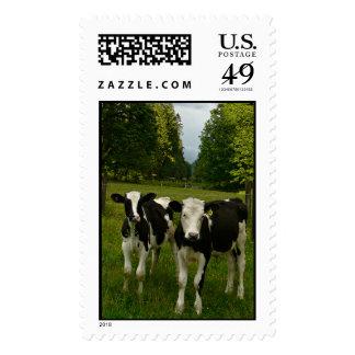 Holstein Fresian Pair of Steers Postage Stamp