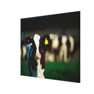 Holstein-Friesian calf Canvas Print