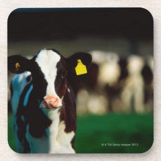 Holstein-Friesian calf Coaster