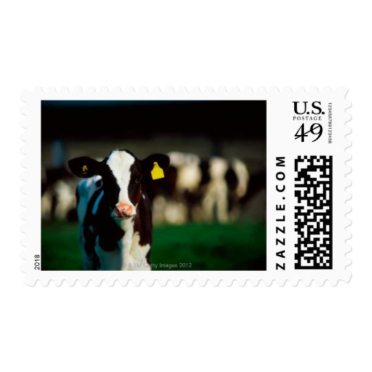 Holstein-Friesian calf Postage